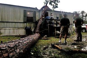 Fallen Ludowici tree